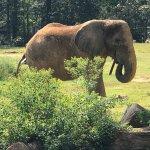 Elephant eating straw