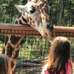 Child feeding lettuce to giraffe