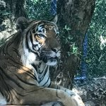 Tiger posing for picture