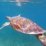 Sea Turtle at Maho