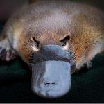 Platypus - Onsite