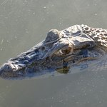 A curious caiman on the Oxbow Lake