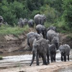 Elephant herd crossing the Sand river