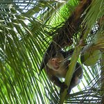 singe cueilleur de coco