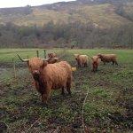 Les highland cows de Chester