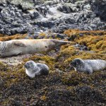 More common seals