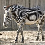 Zebra on a walk.
