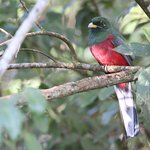 Narina Trogon close to the guesthouse