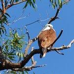 Brahminy Kite nesting near our Home.
