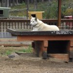 ALASKA - DENALI - HUSKY HOMESTEAD #7 - DOG NAMED SUSPECT