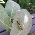 Monarch caterpillar on a leaf, at Butterfly Farm Aruba