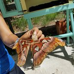 A live Atlas moth held by tour guide, at Butterfly Farm Aruba