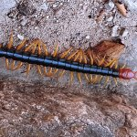 "Centipede In The Park arounf 6"" long"