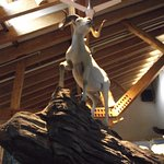 ALASKA - DENALI – MAIN VISITOR CENTER #2 – TAXIDERMED DALL SHEEP
