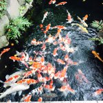 Little stream with tons of koi