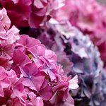 Hydrangeas in the grounds