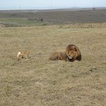 Lions posing for a photo or 2