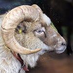 An example of a rare ram.
