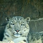 Snow Leopards trying to stay cool in the heat...