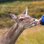 Hand feeding one of several deer that Jeff had called over to us. Even the deer love him!!
