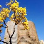 Ipê (Lapacho) florecido con el Edificio Niemeyer de fondo