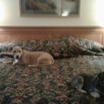 King-sized bed and look who is lounging Hobey & Sadie before they go to their beds =)