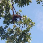 wild life - monkeys in treetops!