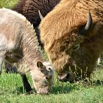 Rare White Buffalo and calf