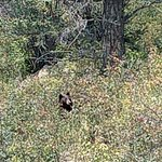 Black Bear in Rocky Mountain National Park