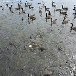 """Pymatuning Spillway """"Battle for the Bread"""""""