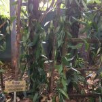 Pictures taken during tour of spice garden.one picture shows cardamom flowers.