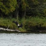 Eagles catching fish across the water from the Lodge