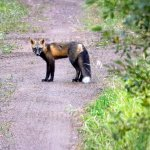 Fox hanging out on a side road off the Gunflint Trail