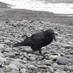 Raven dining on abalone