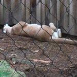This cougar was having a really good nap.