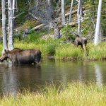 You to can see a Moose or two