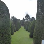 Yew trees in garden
