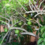 Calabash tree courtyard