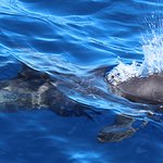 This is a pygmy false killer whale that we saw while cruising the water