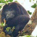 Howler Monkey / Mono Aullador o Congo. Natural History Walk