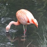 One of a small flock of Chilian Flamingos at the zoo