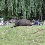 One of the Tapirs in its enclosure waiting for feeding time.