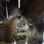 The beautiful jaguar in its den
