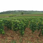 Les premières vignes extra-muros ...