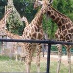 First time watching a giraffe!