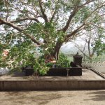 Inside the complex - The sacred Bodhi Tree.