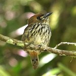 The Rio Tuis Valley near Rancho Naturalista is the best place to see the Lanceolated Monklet