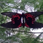 Just one of the many beautiful species of butterflies at the centre!