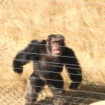 One of the chimpanzee's