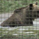 The bears enjoyed a swim.